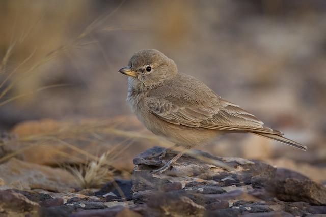 Desert Lark | Ammomanes deserti phoenicuroides