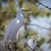 Egret at Swan Quarter by crziebird