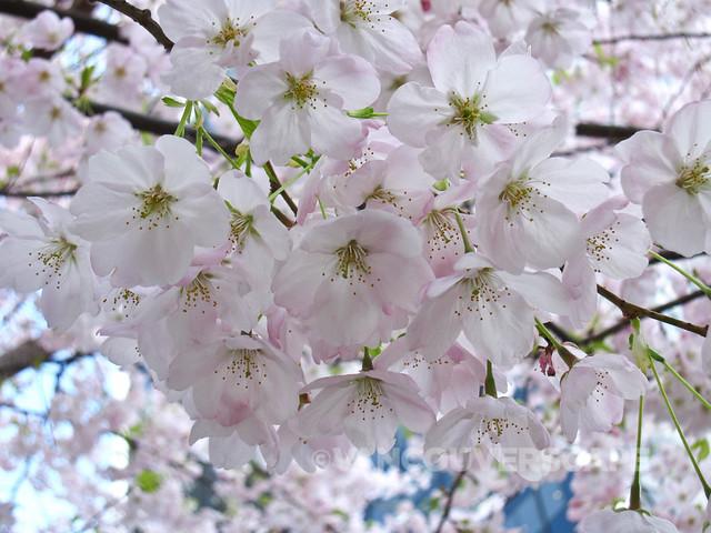 Cherry Blossom Festival-2