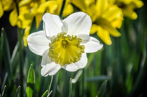 Skagit Daffodils-14