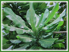 20-40 cm long green leaves of Barringtonia asiatica (Poison Fish Tree, Fish-killer Tree, Beach Barringtonia, Sea Poison Tree, Box Fruit, Putat Gajah/Laut in Malay), March 24 2018