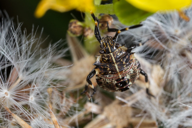 Oncocoris geniculatus nymph