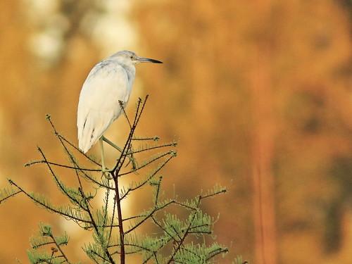Little Blue Heron roosting 06-20180306