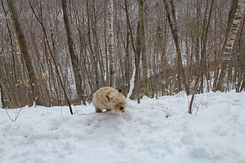 vermont winter snow nature outdoors animals dogs cairnterriers pets