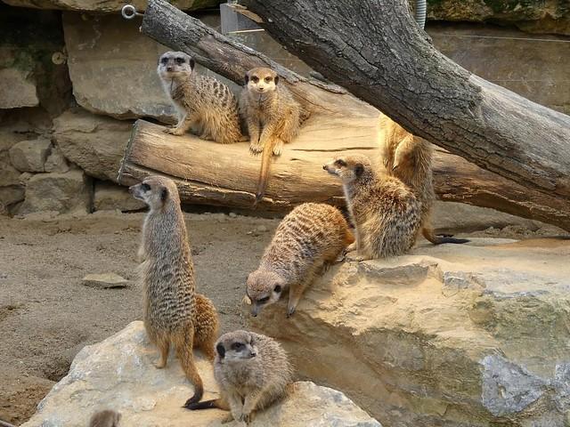 Erdmännchen, Zoo Frankfurt