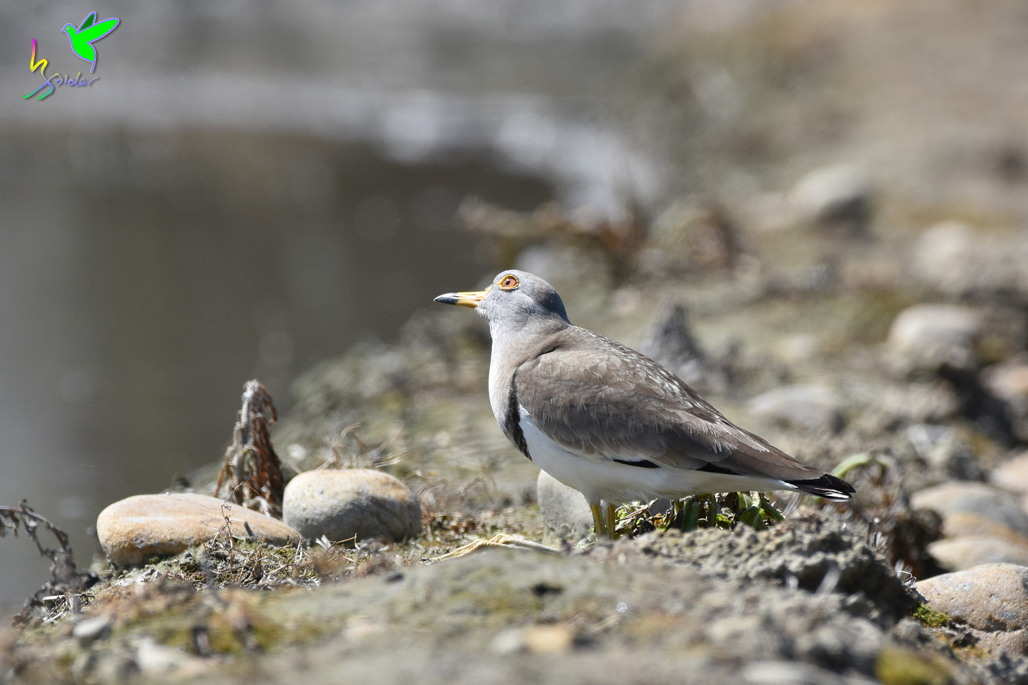 Grey-headed_Lapwing_1735