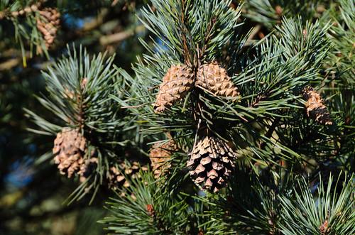 Cones, conifer, West Park