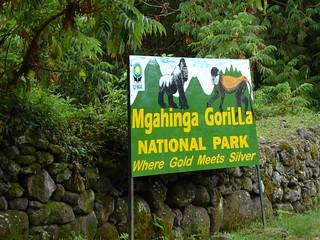 Mgahinga NP-Golen monkey-silverback gorilla