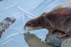 Thirsty Otter