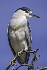 Black-crowned Night-Heron with plume