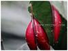Passiflora singaporeana (Large-leafed Adenia, Singapore Adenia)