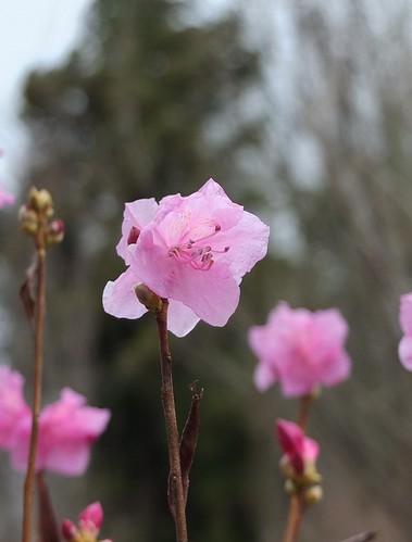 桜玄海ツツジ