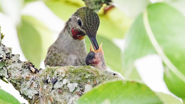 Hummingbird Mom with Days, Sony ILCA-77M2, Sony 500mm F4 G SSM (SAL500F40G)