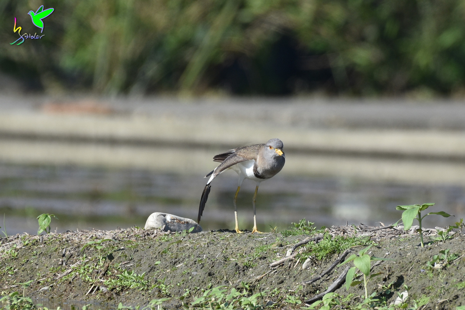 Grey-headed_Lapwing_0785