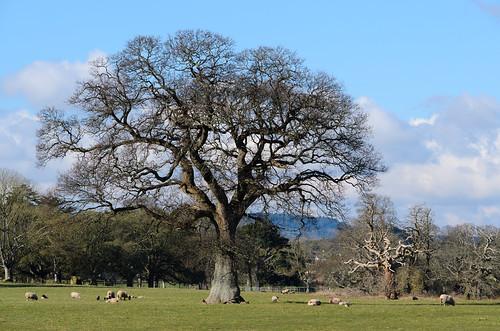 Sheep grazing before the Beast