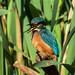 Kingfisher Greylake RSPB F00140 D210bob DSC_7395