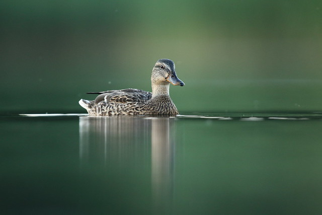 still water, Canon EOS 7D MARK II, Canon EF 600mm f/4L IS