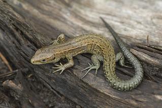 common_lizard-00142