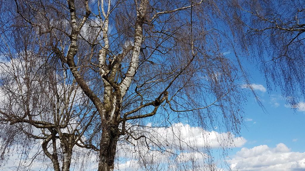 Birch Trees Austria Birken Birches Rutzenmoos Rega Flickr