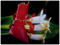 White tubular flowers of Psychotria elata (Hooker's Lips, Hot Lips Plants, Hot Lips, Mick Jagger's Lips), March 12 2018