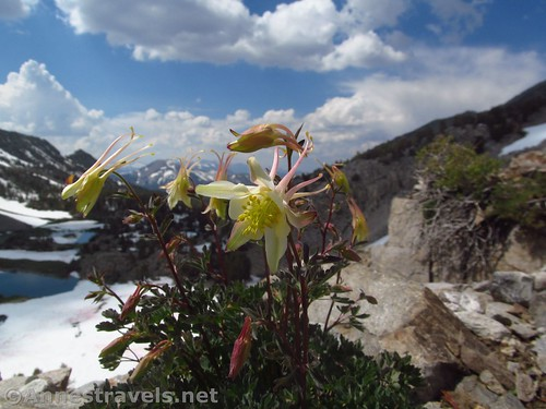 A shooting star flower along the Duck Pass Trail in Inyo National Forest, California