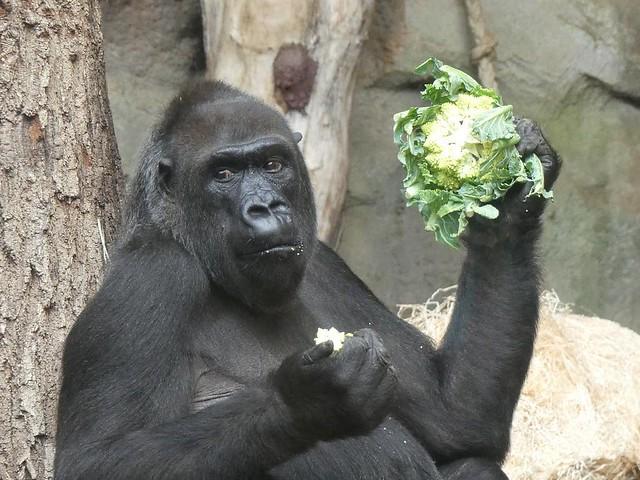 Gorilla Rebecca, Zoo Frankfurt