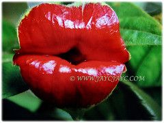 Mesmerising bright red bracts of Psychotria elata (Hooker's Lips, Hot Lips Plants, Hot Lips, Mick Jagger's Lips), March 12 2018