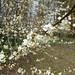 Cherry Plum (Prunus cerasifera) Milton Keynes 11Mar18
