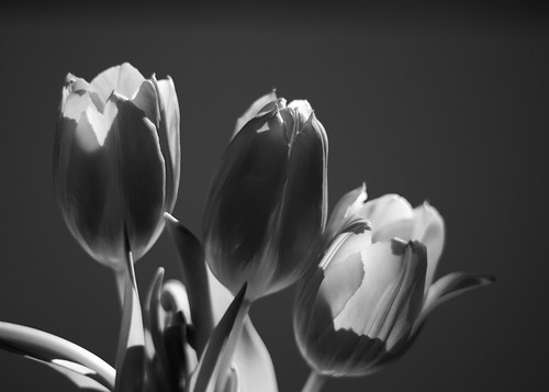 Three Tulips In The Morning Light