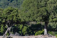 Ικαρία/Ikaria - goats' work