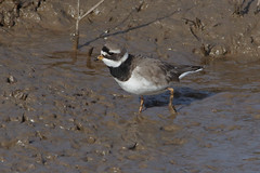 IMGP0725a Ringed Plover, Titchwell, February 2018
