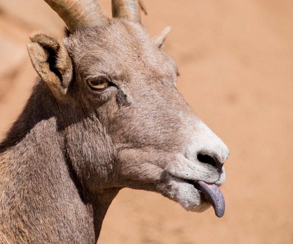 Big Horn Sheep_1