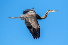Great Blue Heron Inflight
