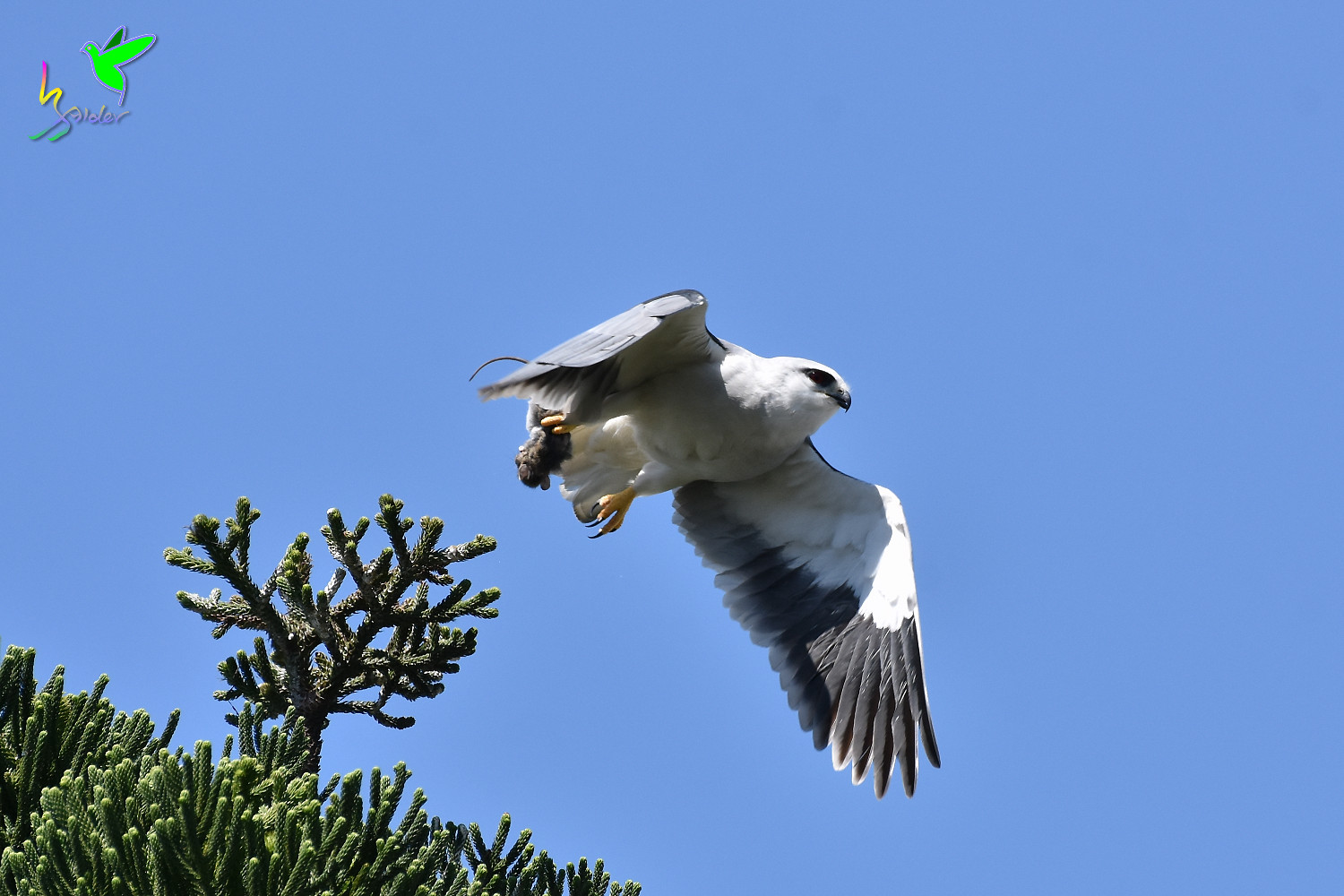 Black-winged_Kite_2053
