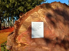 A new life for a giant sequoia