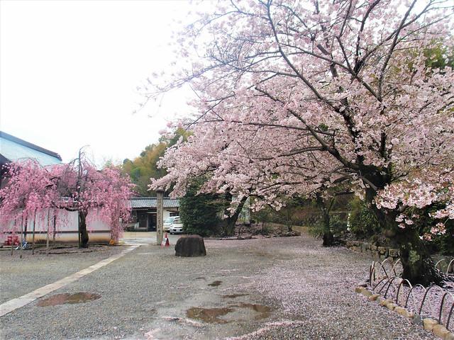 kajuji-sakura013
