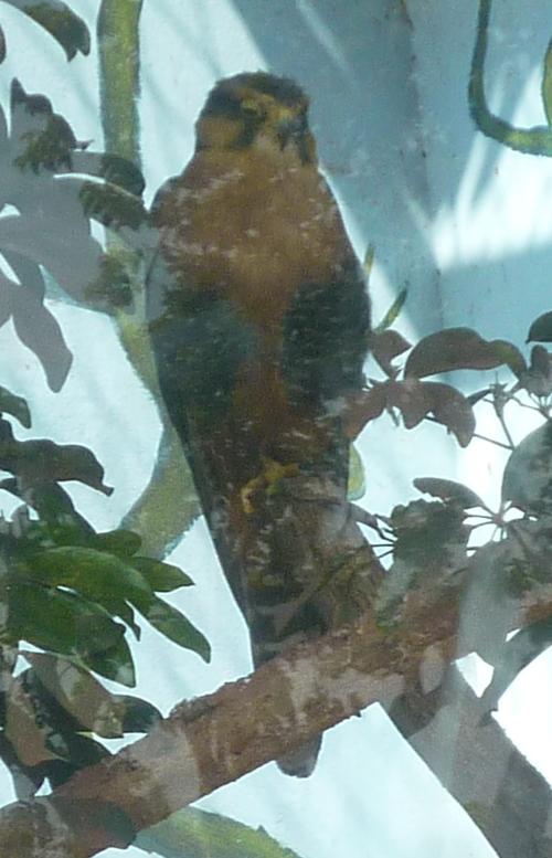 Falco femoralis 40669123941_8196f8cfa1_o
