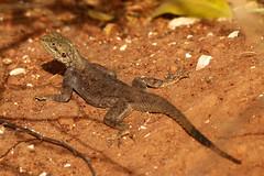 21_11-04-46 70D-1509fs1 Agama Lizard