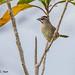 Small photo of Rusty Sparrow, Aimophila rufescens