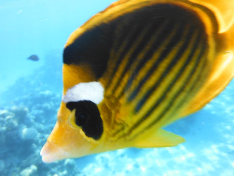 Полосатая рыба-бабочка (Chaetodon fasciatus)DSCF4980