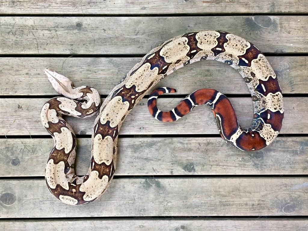 Boa constrictor guyana