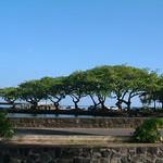 Terminalia cattapa trees