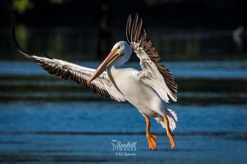 White pelican comin' in.....