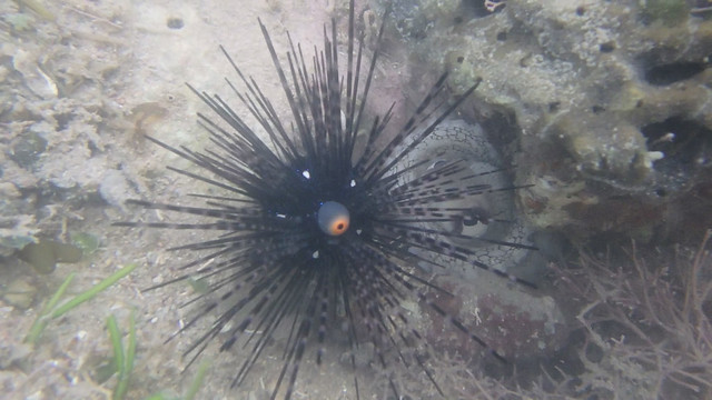 Long-spined black sea urchin (Diadema setosum) and Reef octopus