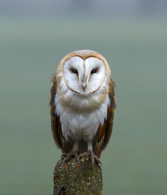 Barn Owl, Canon EOS 7D MARK II, Canon EF 400mm f/4 DO IS