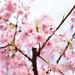 桜 by Yakinik