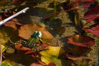 Frog life 3