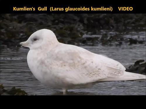 Kumlien's Gull (Larus glaucoides kumlieni)    VIDEO