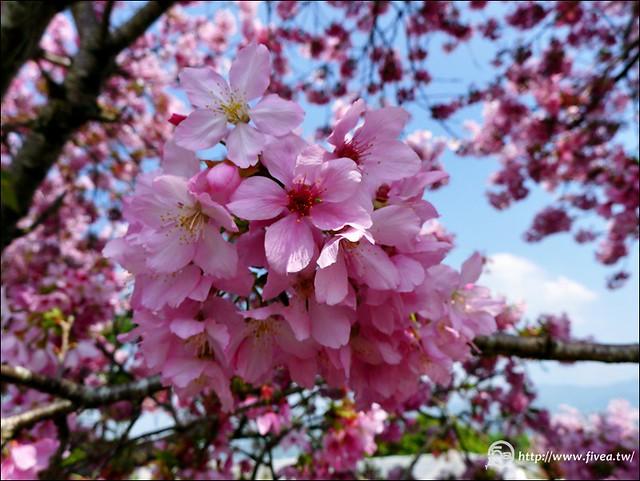 櫻花圖庫素材