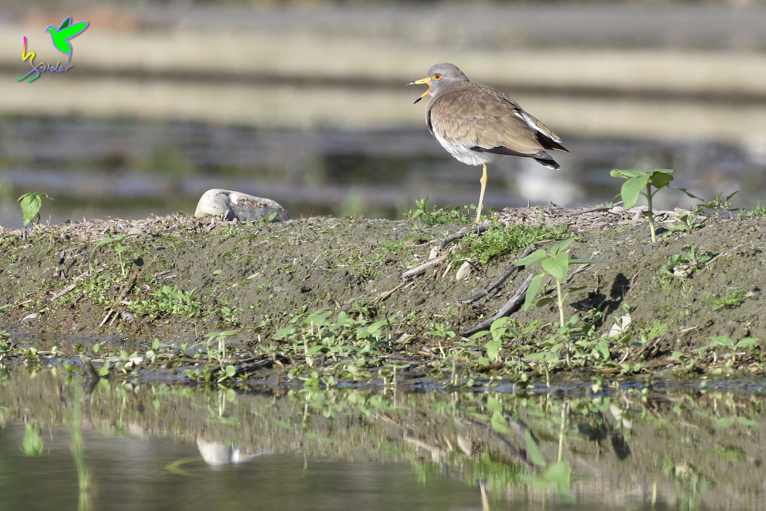 Grey-headed_Lapwing_0446
